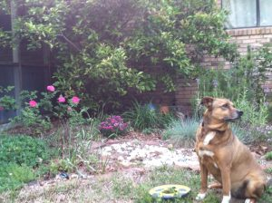 Brown dog sitting in front of a flower garden.